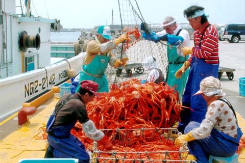 能生漁港のベニズワイガニの水揚げ